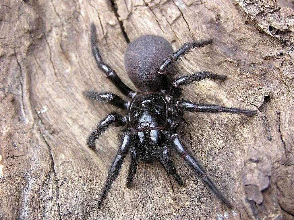 Funnel-Web Spider Bites Increase while Venom Supplies Diminish