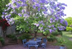 Jacaranda in full bloom