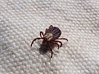Tick Survey on the Northern Beaches