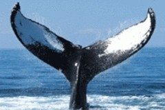 Whale Watching - Experience it Yourself!